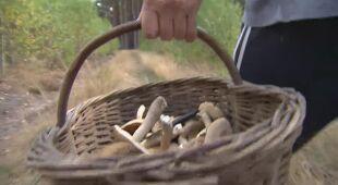 Przodownicy Europy. Polacy kochają i grzyby, i grzybobranie [materiał z 2016 roku]