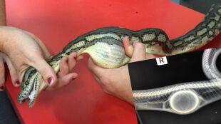 Wąż pomylił piłkę tenisową z jedzeniem